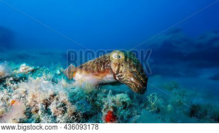 Underwater Photo Of Beautiful Cuttlefish Hovering Over The Sand Bottom. From A Scuba Dive In The Atl