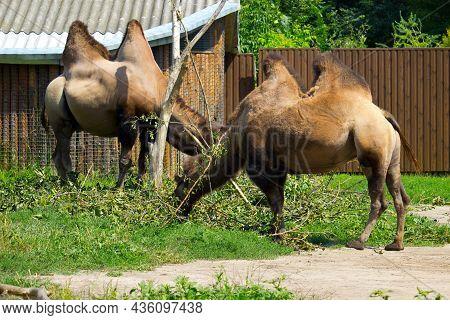 Wild Camel In The Summertime. Herbivore Animal