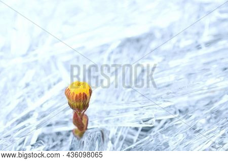 An Unopened Coltsfoot Flower Sprouts From The Ice. Overcoming Obstacles With A Flower