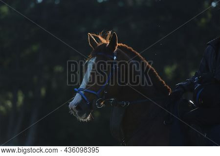 Head Shot Closeup Portrait Of A Young Racehorse Under Saddle During Morning Training