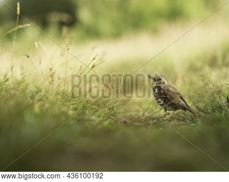 Song Thrush Or Turdus Philomelos Stands On Path On Field. Small Brown Bird Among Yellow Autumn Grass