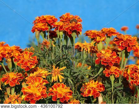 Bright Velvet Marigolds With Pollination Of Bees In A Sunny Flower Bed, Rich Orange Color In Nature,