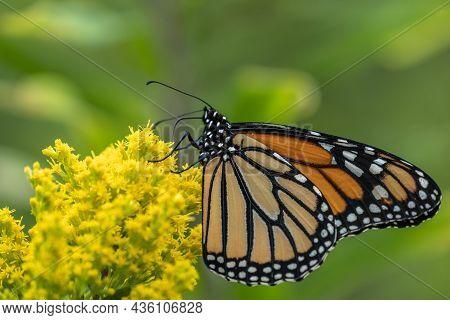 Monarch Butterfly (danaus Plexippus) Feeding On Yellow Wildflower In Summer Meadow