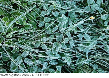 Grass Covered With Morning Rime In Autumn. White Frost On The Stems And Leaves Of The Grass. Ice Cry