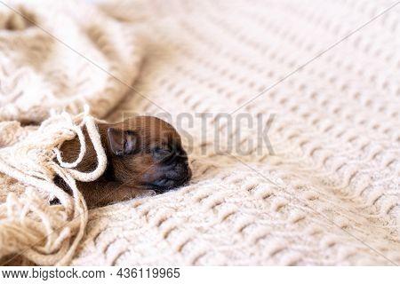 Newborn Puppy Brussels Griffon Sleeping Under A Blanket