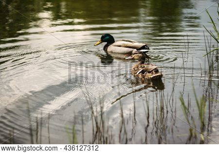 Couple Of Ducks Floating On The Water Reflecting Sky And Trees | Dwo Mallard Ducks Swimming On The L