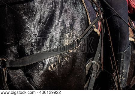 Close Up Black Horse Covered With Sweat, Foam And Mud With Rider In The Saddle, Horse Wearing Breast