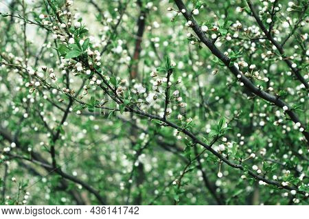 Spring Day. Garden In Bloom. Spring Landscape. Cherry Blossoms, Spring Flowers On The Blue Sky Under