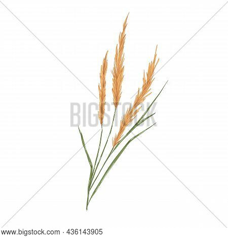Reed Grass, Field Plant With Spikes. Botanical Realistic Drawing Of Calamagrostis. Vintage Smallweed