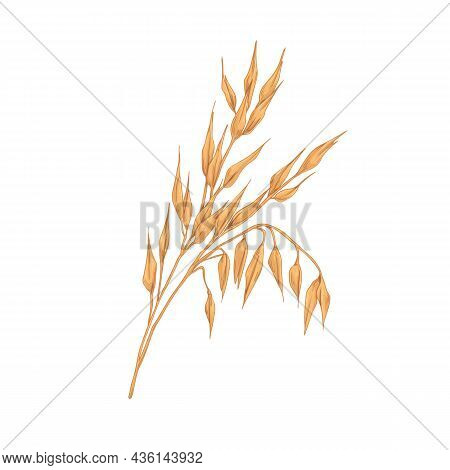 Oat Spikelets With Ears And Grains. Botanical Vintage Drawing Of Field Cereal Plant. Agriculture Cro