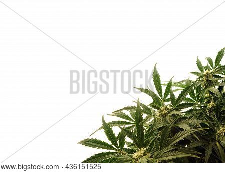 Marijuana Bush On White Background. Cannabis Shrub, Young Plant.