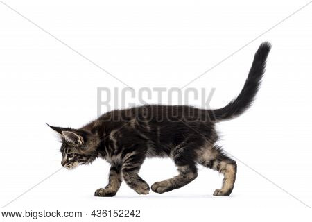 Adorable Classic Black Tabby Maine Coon Cat Kitten, Walking Side Ways. Looking Down Away From Lens.