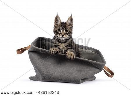 Adorable Classic Black Tabby Maine Coon Cat Kitten, Sitting In Grey Basket. Looking Straight Into Le