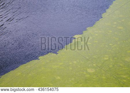 Green Algae Floating On Rippled Water Surface Of The Pond With Pronounced Diagonal Border Between Du