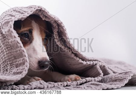 A Cute Little Dog Lies Covered With A Gray Plaid. The Muzzle Of A Jack Russell Terrier Sticks Out Fr