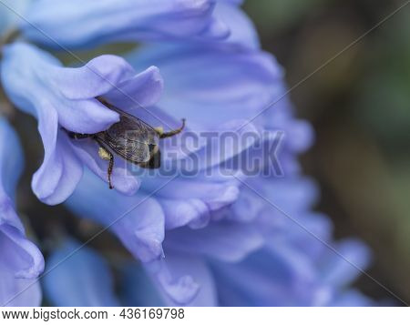 Close Up, Macro Of Blue Hyacinth, Hyacinthus Orientalis Pollinated By Honey Bee. Beautiful Spring Fl