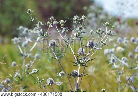 The Wild Medicinal Plant Sea Holly Or Eryngium