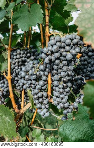Detail Of Sweet Organic Juicy Grapevine In Autumn.close Up Of Red Grapes In Vineyard,grape Harvest C
