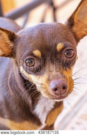 Mexican Brown Chihuahua Dog Portrait Looking Lovely And Cute Mexico.