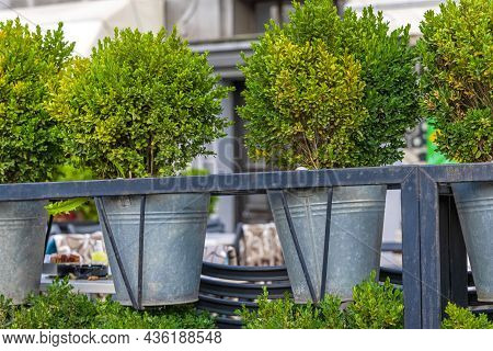 Small Green Bush Plants In Metal Buckets At Fence