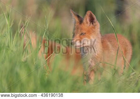 Portrait Red Fox Cub Vulpes Vulpes In The Habitat. The Fox Cub Hiding In The Grass.