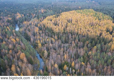 Yellow Larch Trees And Roshinka River In Lindulovskaya Grove In Autumn, Top Aerial View From Drone.