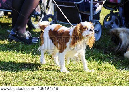 Cavalier's Dog King Charles Spaniel On A Walk.