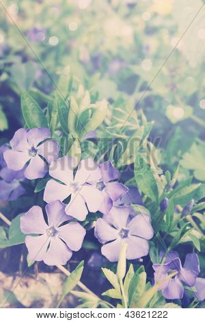 Vinca Blue Spring Flowers,tinted