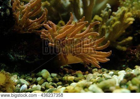 Sea Anemones Underwater. Aquatic Animals. Underwater Life.