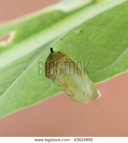 Monarch Butterfly Cocoon