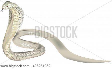White Indian Spectacled Cobra (naja Naja) - Colored Photorealistic Illustration Isolated On White Ba