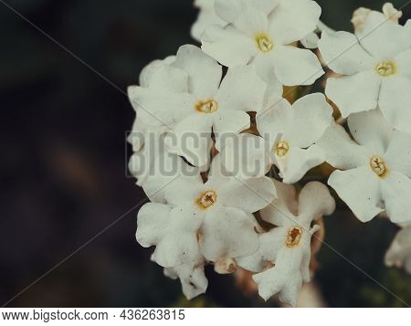 Inflorescence Of White Phlox On A Dark Blurred Background. White Flowers Close-up.