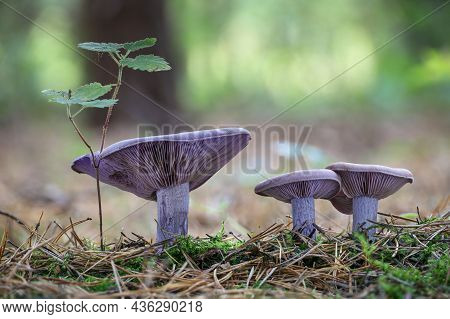 Amazing Edible Mushroom Lepista Nuda Commonly Known As Wood Blewit In Autumn Forest. Czech Republic,