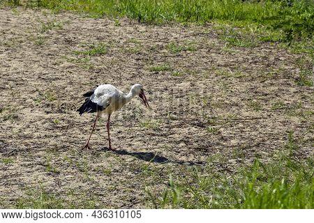 One Stork Walks Along Sandy Bank Of River In Summer Day. Life Of Wild Bird, Animals. Wildlife, Birdi