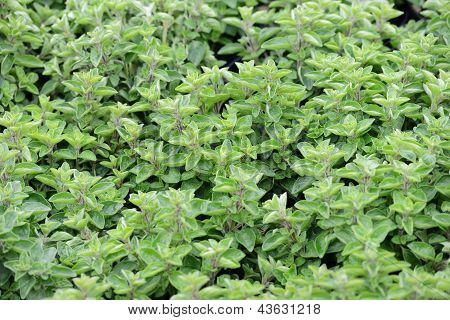Oregano Plants To The Market In Italy