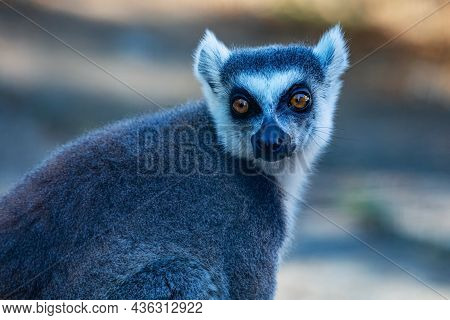 Ring-tailed Lemur Monkey. Mammal And Mammals. Land World And Fauna. Wildlife And Zoology. Nature And