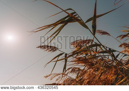 A Selective Focus Vertical Shot Of A Spike Of Golden Wheat Swaying In Wind