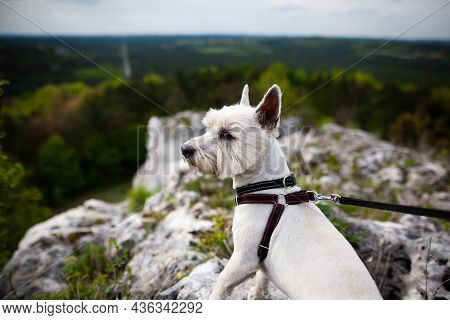 West Highland White Terrier Stading On A Rock High Up With Beautiful Panorama In The Background | We