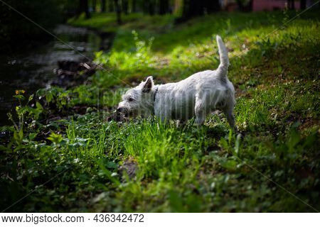 West Highland White Terrier Dog Eating Grass At The River Bank   Small Dog Eating Grass Riverside Cl