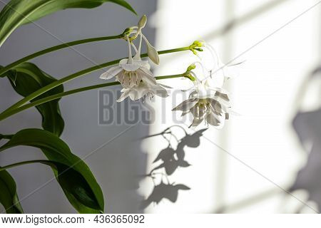 Eucharis Green Leaves For Composition Design. Plant In Pot Tropical Leaves Background On Grey Backgr