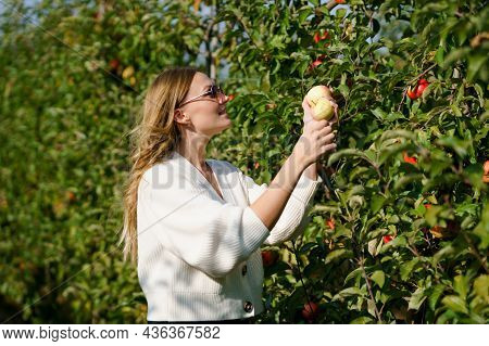 Young Woman Picking Fresh Red Apples In Organic Orchard. Happy Woman Pick Ripe Healthy Fruits, Harve