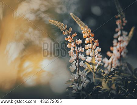 Beautiful Fragrant Delicate Lupine Flowers Bloom In A Dark Forest, Illuminated By The Rays Of The Mo