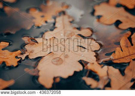Yellowed Fallen Oak Leaves Lie On The Water Surface Of The Puddle, Covered With Raindrops On An Autu