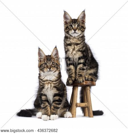 Two Adorable Maine Coon Cat Kittens, Sitting Beside Each Other On And Beside Little Wooden Stool. Bo