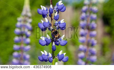 Wild Shaggy Bumblebee Collects Pollen And Nectar From  Flowering Lupine. Flowering Lupine And Hymeno