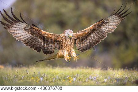 Red Kite (milvus Milvus) Flying In Spanish Pyrenees, Vilagrassa, Catalonia, Spain. April. It Is Resi