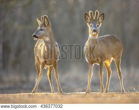 Two Roe Deer (capreolus Capreolus) Looking At Camera On Clearing In Kiskunsagi National Park, Puszta