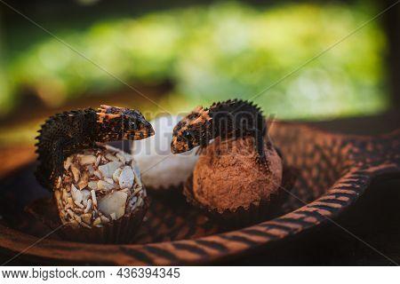Red-eyed Crocodile Skinks, Tribolonotus Gracilis, On Truffles