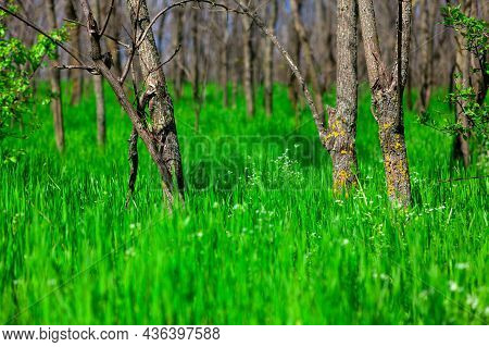 Fresh Grass And Trees In The Spring Forest . Fresh Springtime Nature