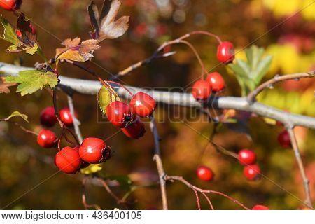 Red Fruit Of Crataegus Monogyna, Known As Hawthorn Or Single-seeded Hawthorn May, Mayblossom, Maytho